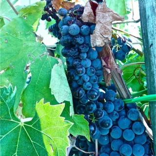 La Vendemmia- Schiacciata con L'uva