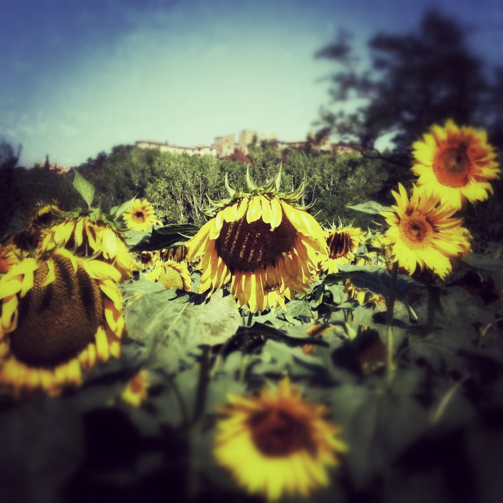 certaldosunflower